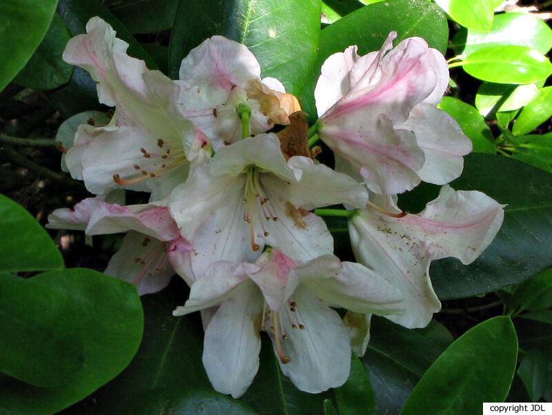 Rhododendron 'Karl Sauerborn' (R. wardii hybrid)