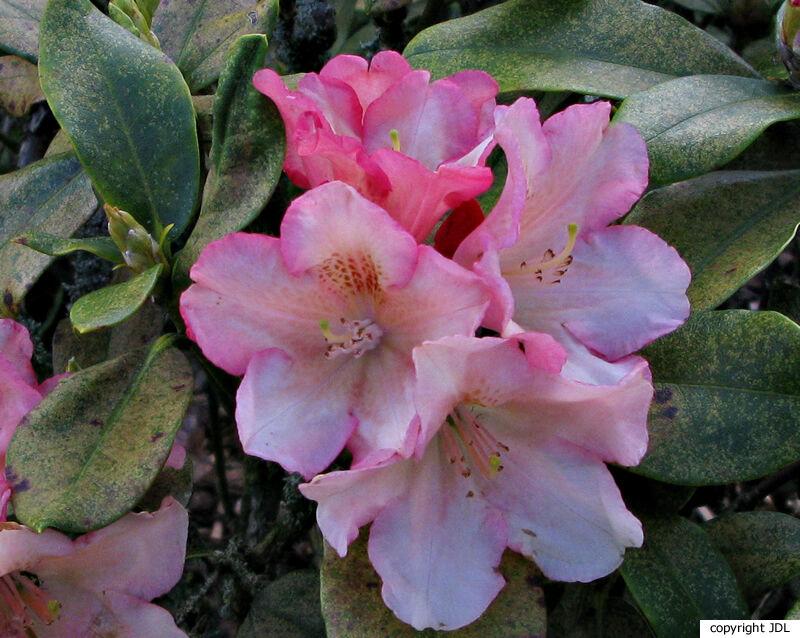 Rhododendron 'Napoli' (R. 'Goldsworth Orange' × ((R. 'Catharina van Tol' × R. discolor) × R. scyphocalyx)))