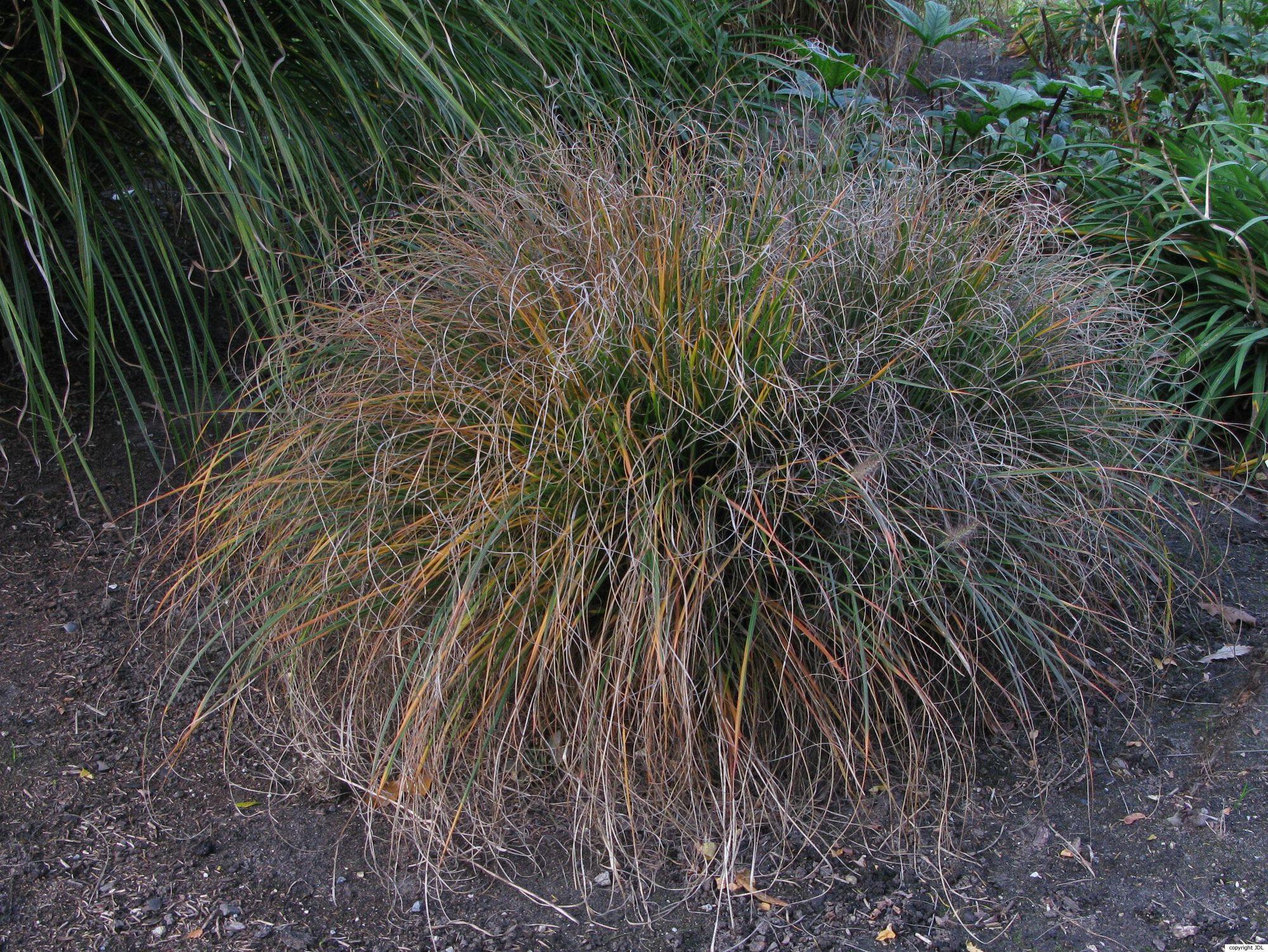 Pennisetum alopecuroides (L.) Spreng. 'Hameln'