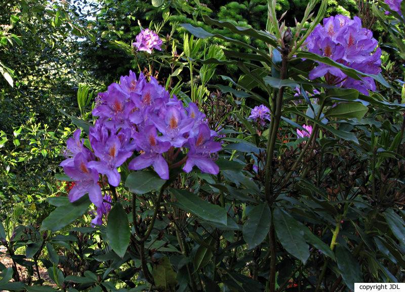 Rhododendron ponticum L.