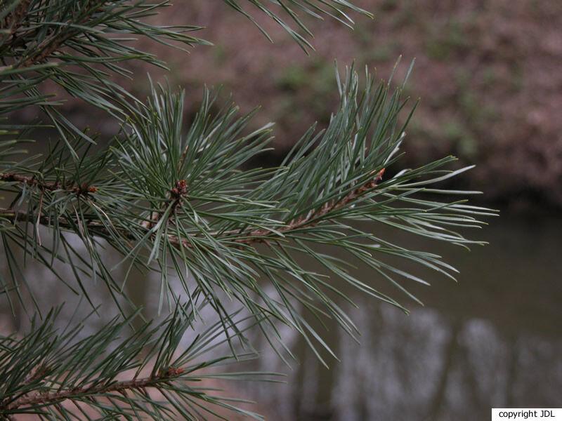 Pinus aff. sylvestris L. 'Watereri'