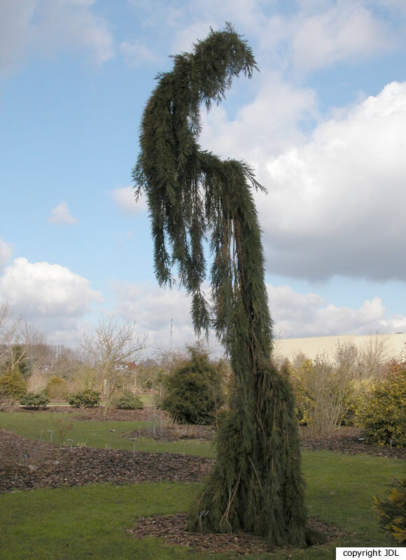 Sequoiadendron giganteum (Lindl.) J.Buchholz 'Pendulum'
