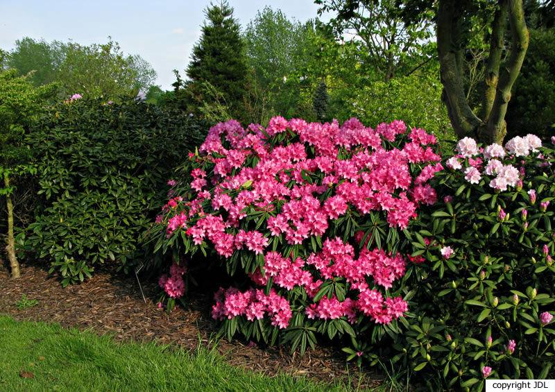 Rhododendron 'Rosa Perle' (R. 'Kluis Triumpf' × R. makinoi)