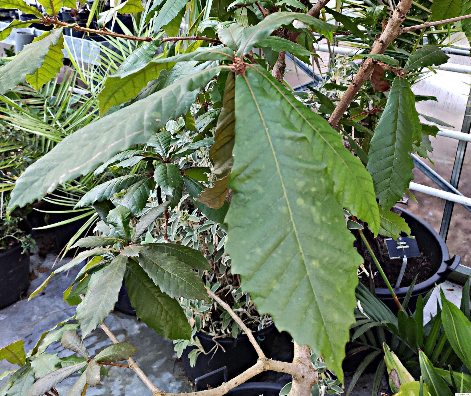 Quercus insignis M.Martens & Galeotti