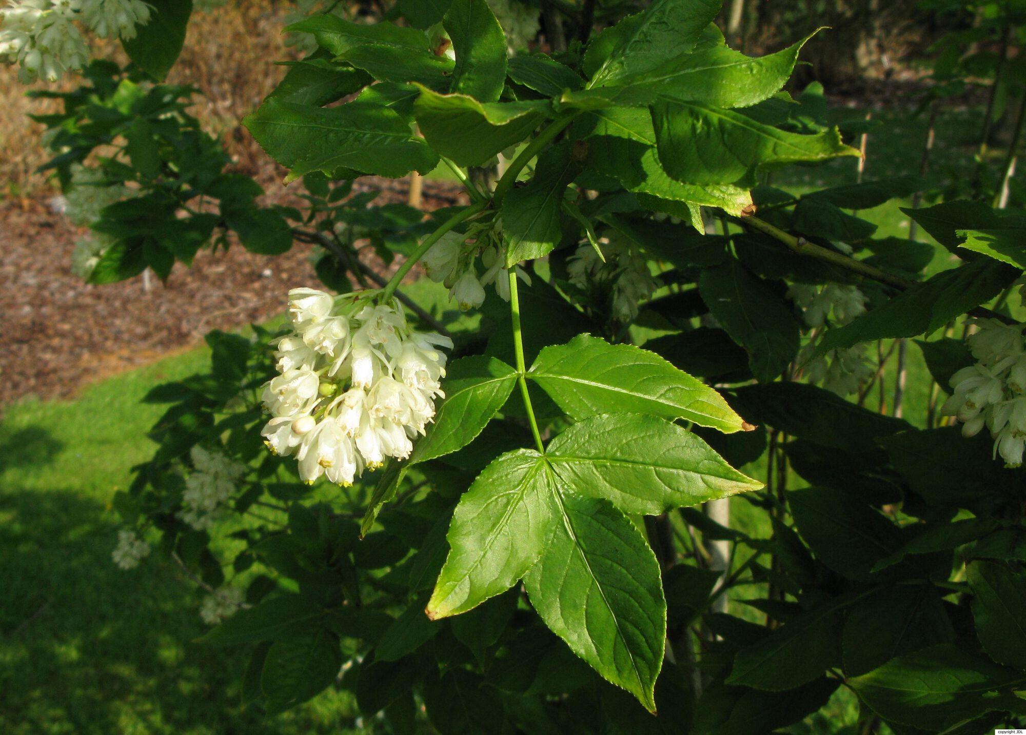 Staphylea colchica Stev.