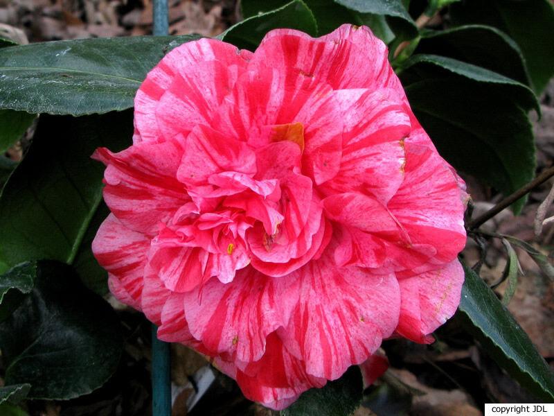 Camellia japonica L. 'Arcozelo'