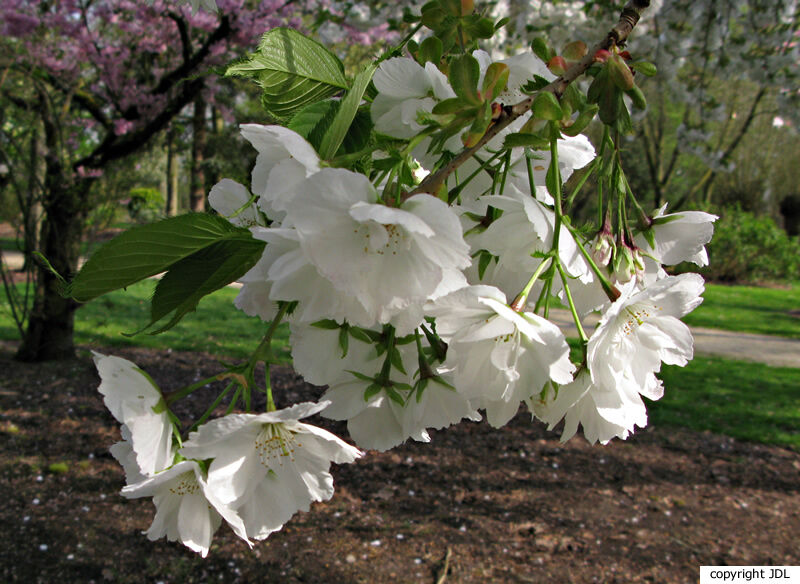 Prunus serrulata Lindl.