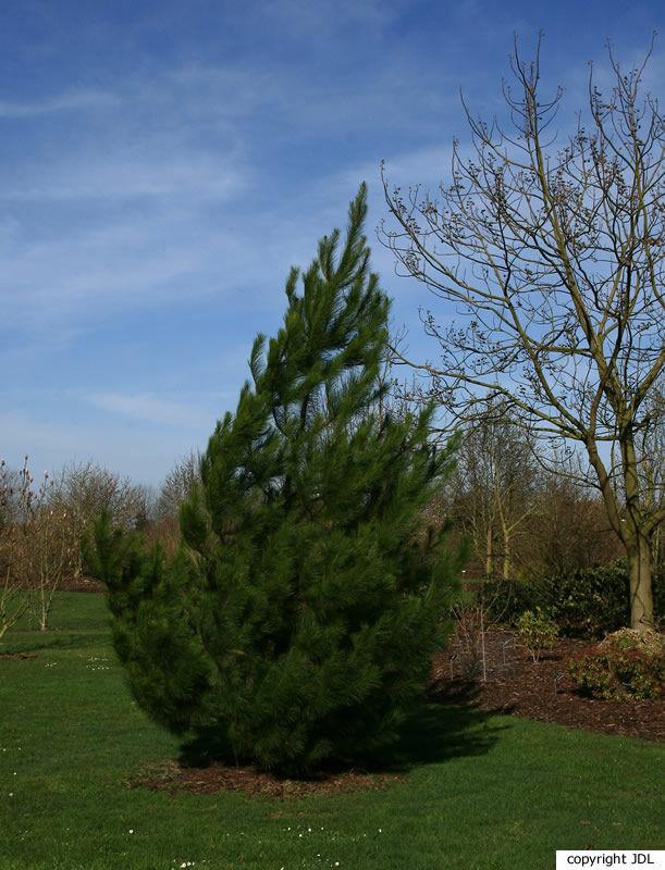 Pinus greggii Engelm. ex Parl.