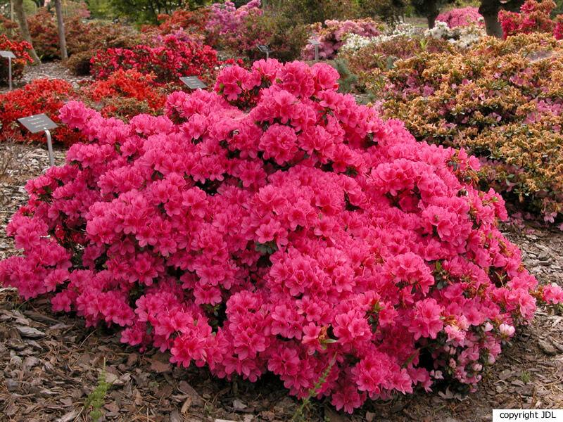 Rhododendron 'Anne Frank' (Japanse azalea)