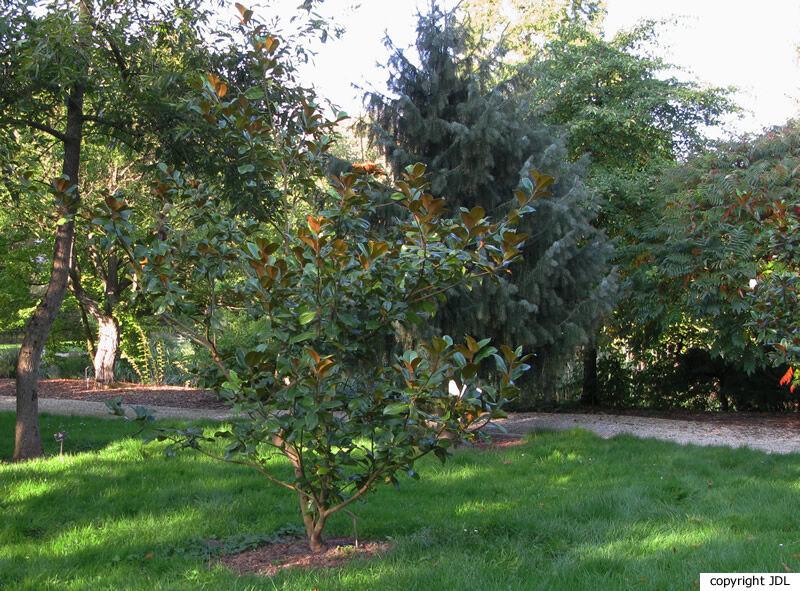 Magnolia grandiflora L. 'Goliath'
