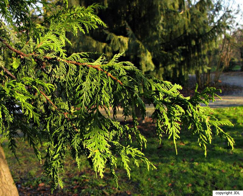 Chamaecyparis pisifera (Siebold & Zucc.) Endl. 'Gold Spangle'
