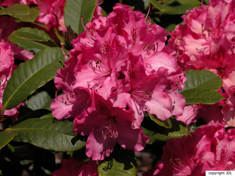 Rhododendron 'Maxi Rose'