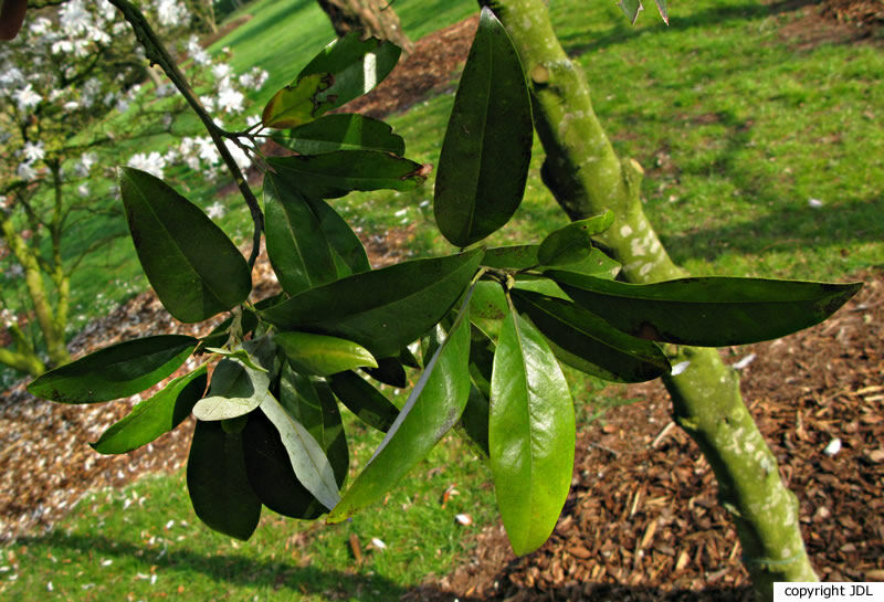 Magnolia virginiana L. 'Henry Hicks'