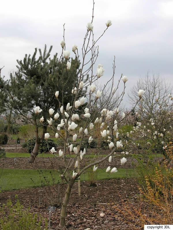Magnolia 'Tina Durio' (M. ×soulangeana 'Lennei Alba' × M. ×veitchii)