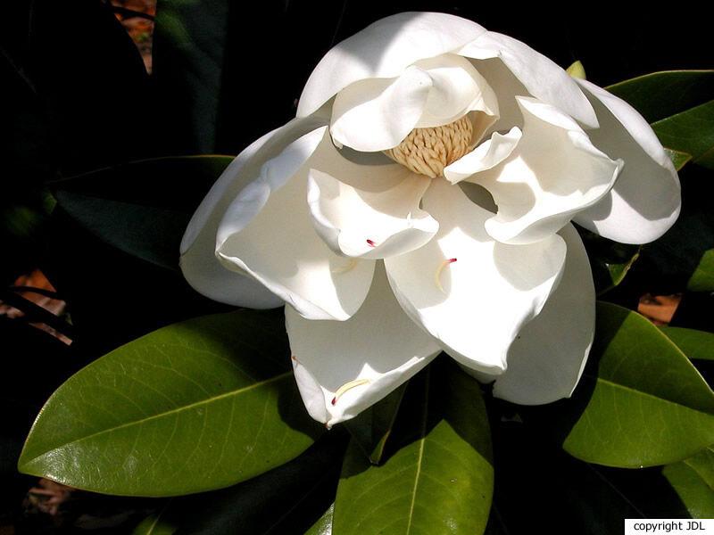 Magnolia grandiflora L. 'Russet'