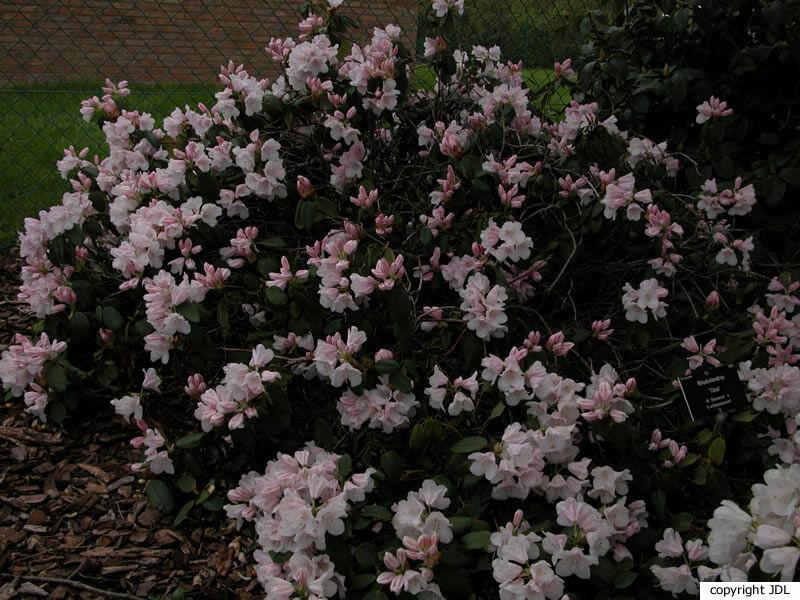 Rhododendron 'Tibet' (R. 'Bismarck' × R. williamsianum)