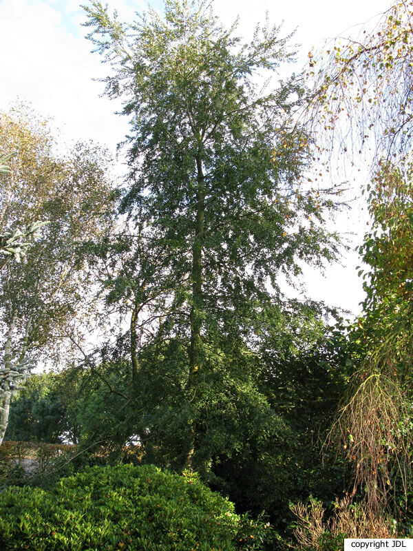 Nothofagus obliqua (Mirb.) Blume