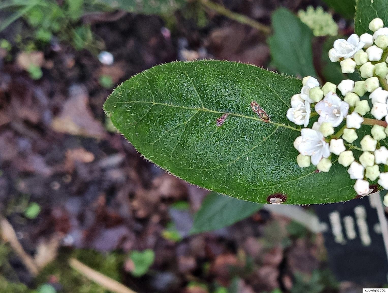 Viburnum tinus L. 'Hirtum'