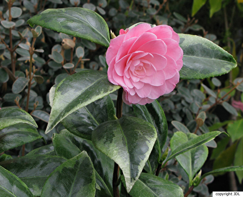 Camellia japonica L. 'Kerguelen'