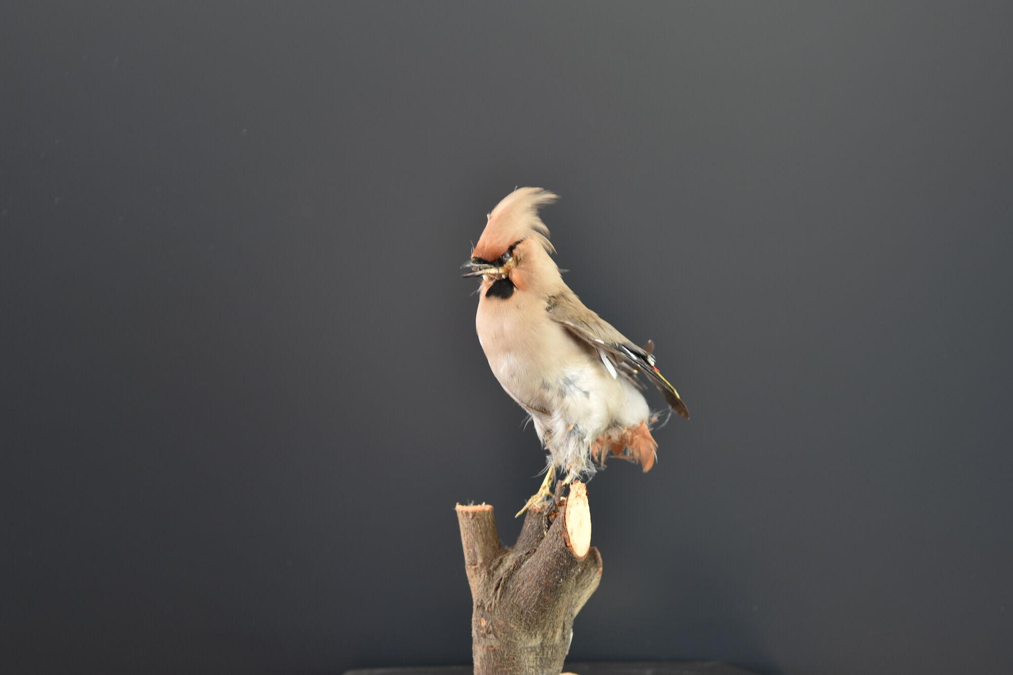 Opgezette Pestvogel
