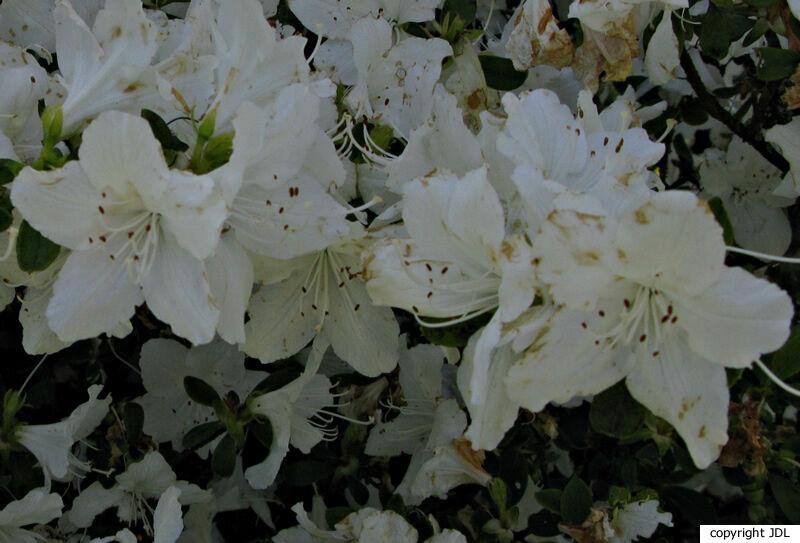Rhododendron 'Luzi' (Japanse azalea)