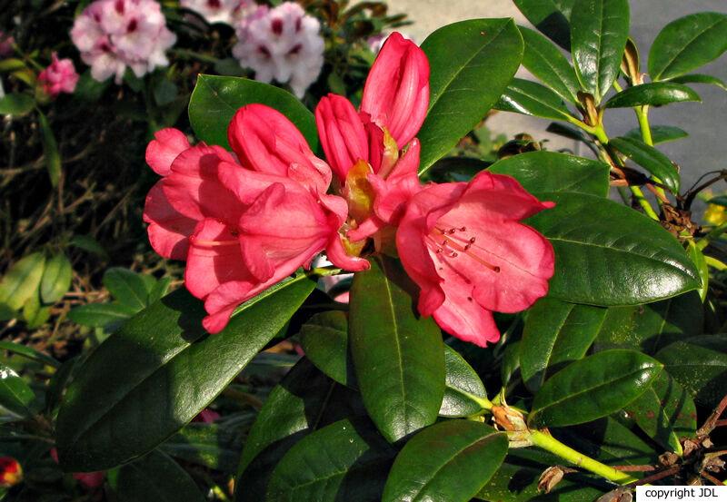 Rhododendron 'Inez' (R. yakushimanum hybrid)