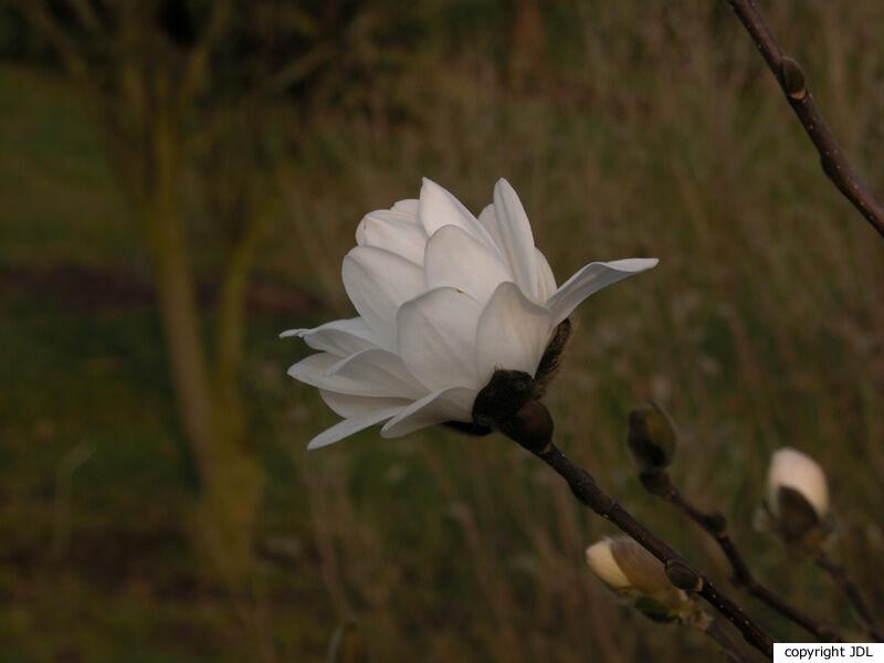 Magnolia ×loebneri Kache 'Mag's Pirouette' (M. ×loebneri 'Ballerina' seedling)