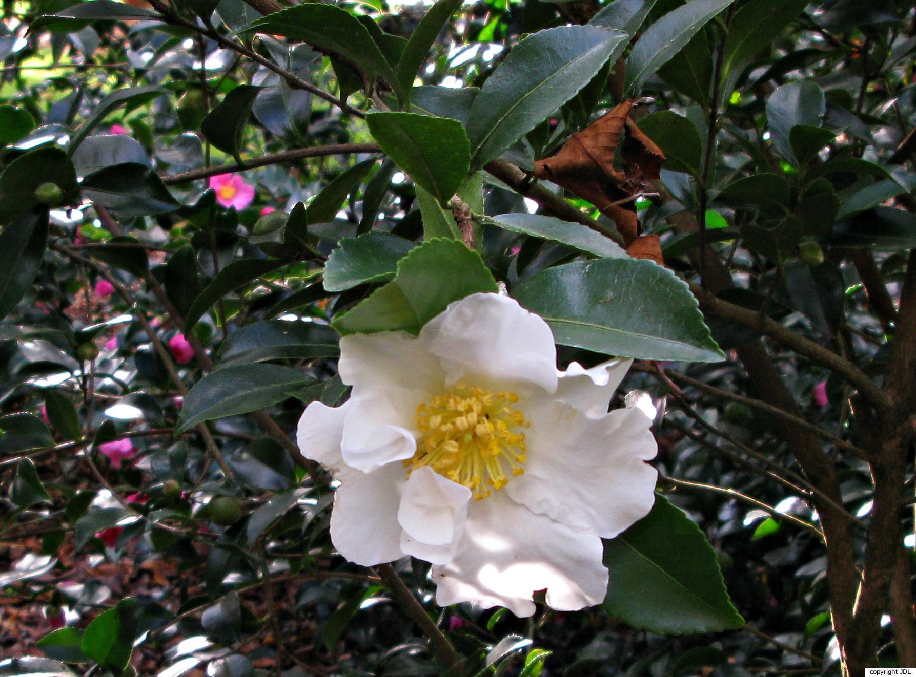 Camellia sasanqua Thunb. 'Orcival'