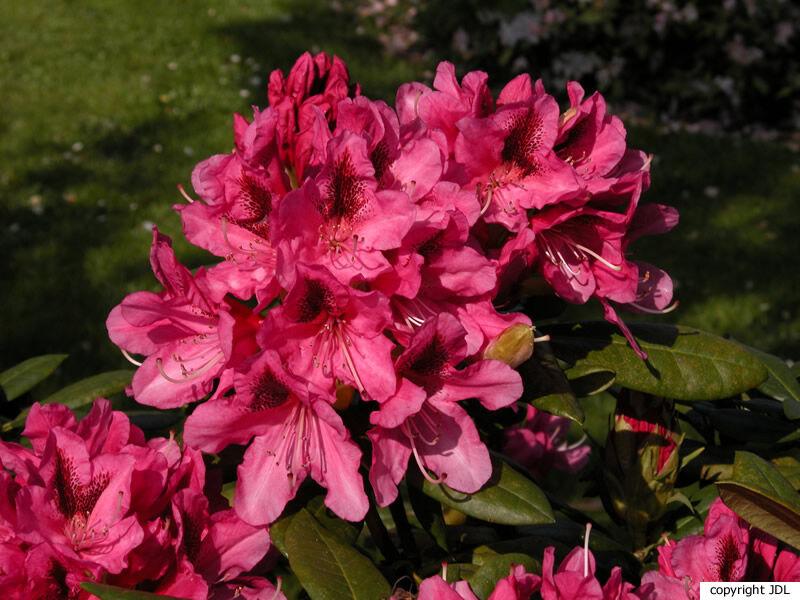 Rhododendron 'Cosmopolitan' (R. 'Cunningham's White' × R. 'Vesuvius')
