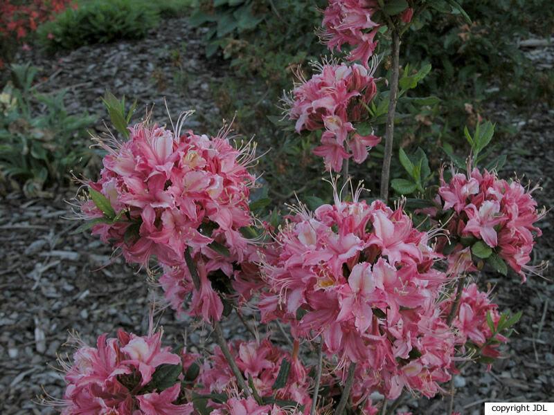 Rhododendron 'Roi des Belges' (Harde Gentse)