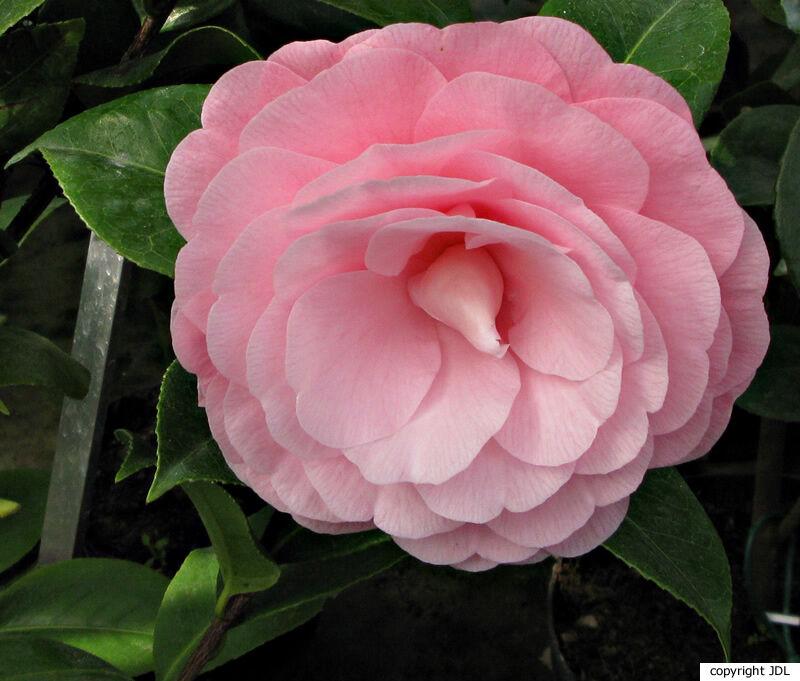 Camellia japonica L. 'Nuccio's Cameo'