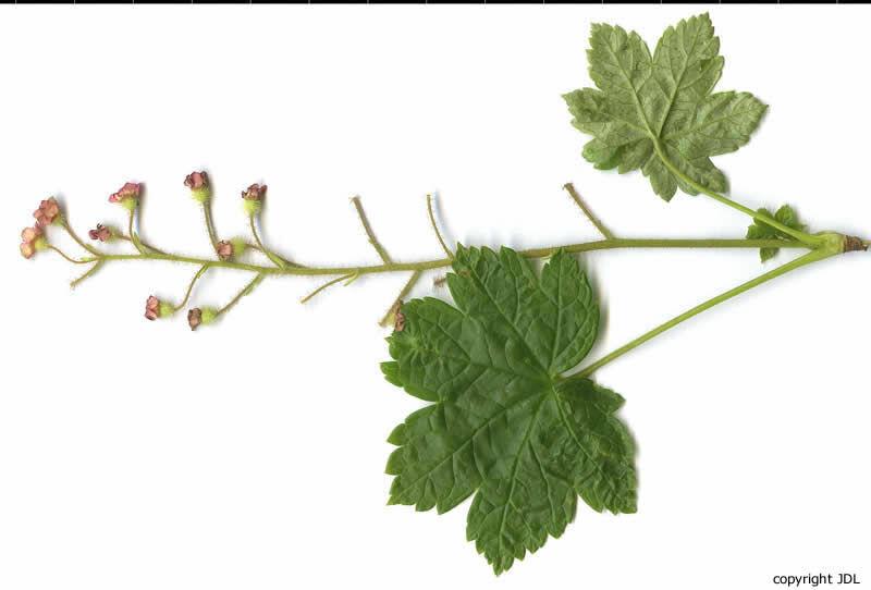 Ribes sachalinense (F.Schmidt) Nakai