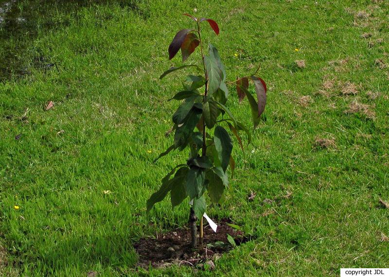 Nyssa sinensis Oliv.