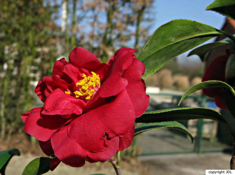 Camellia japonica L. 'John Tooby'