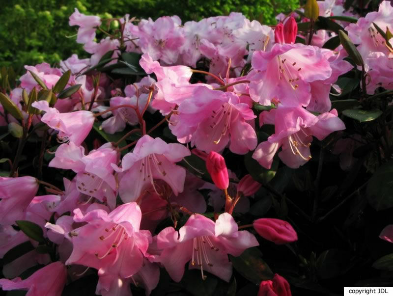 Rhododendron williamsianum Rehder & E.H.Wilson hybr.