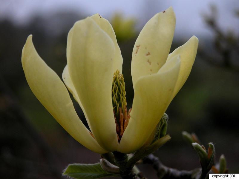 Magnolia 'Butterflies' (M. acuminata × M. denudata 'Sawada's Cream')