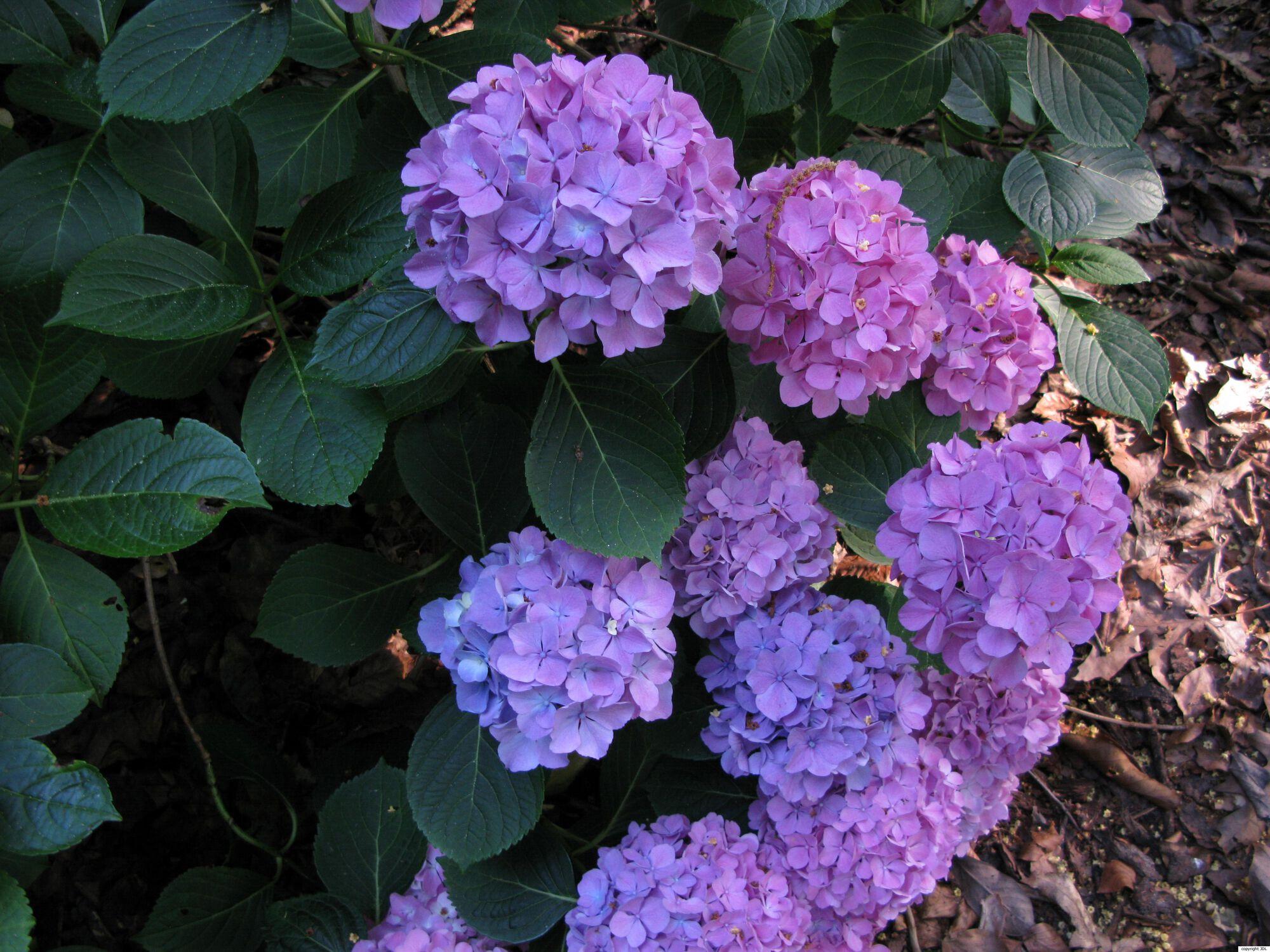 Hydrangea macrophylla (Thunb.) Ser. 'Horben'