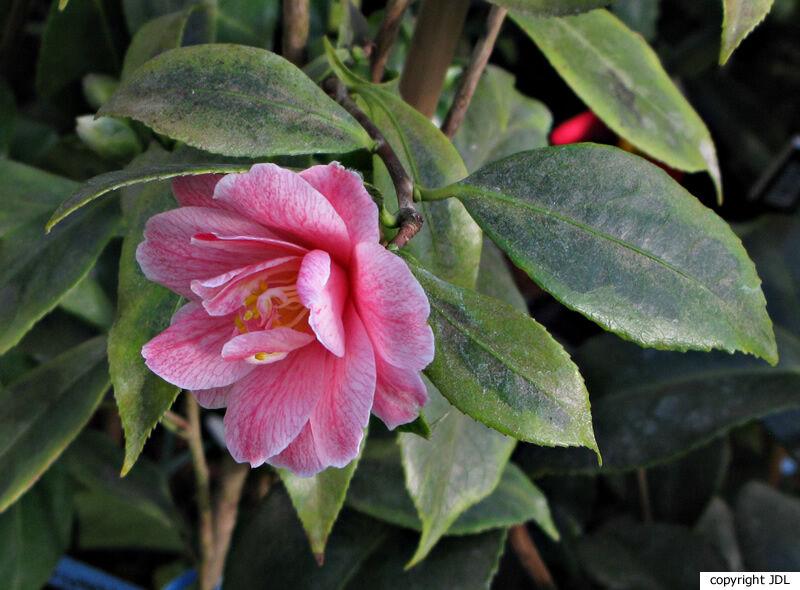 Camellia japonica L. subsp. rusticana (Honda) Kitamura 'Fukurin-ikkyû'