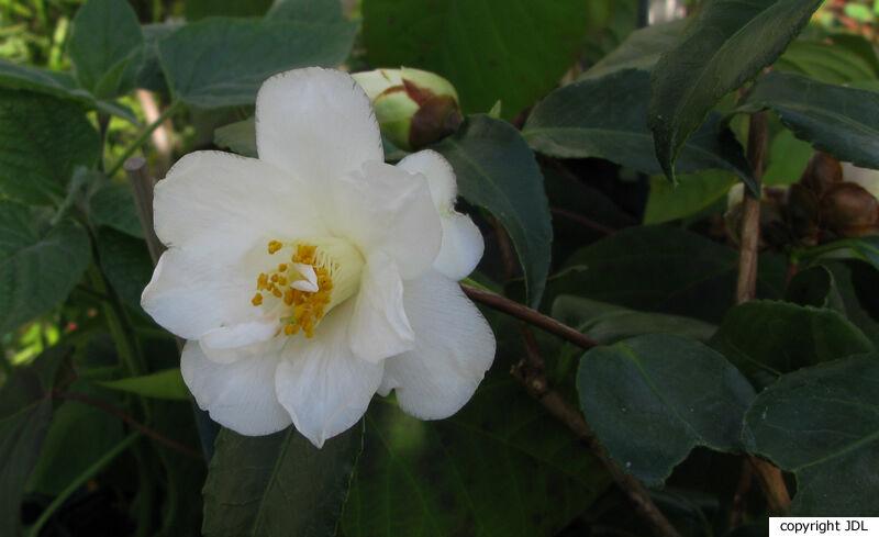 Camellia japonica L. 'Lily Pons'