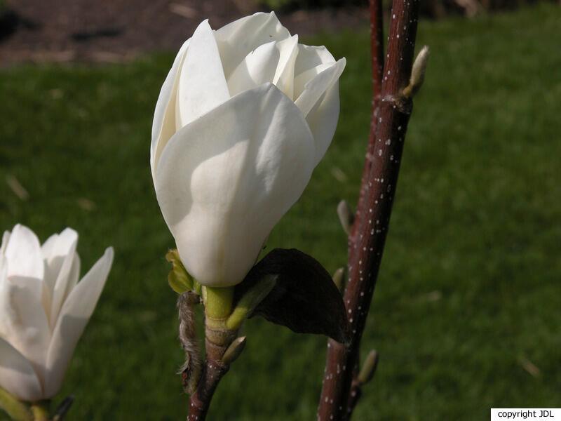 Magnolia 'Binette'
