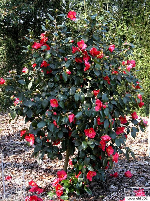 Camellia japonica L. 'Jupiter (Paul)'