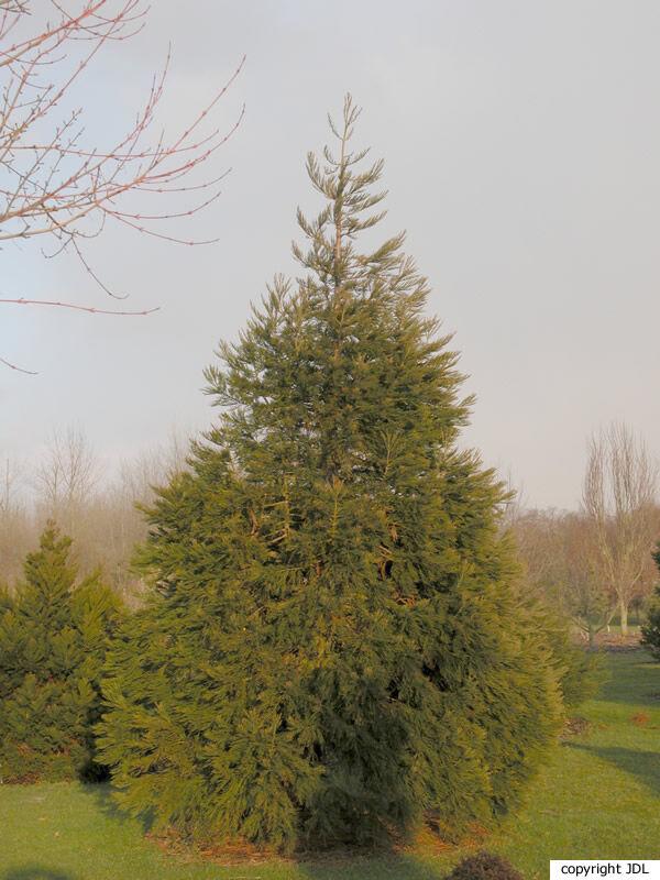 Sequoiadendron giganteum (Lindl.) J.Buchholz 'Sulphurea'
