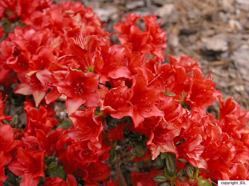 Rhododendron 'Estrella' (Japanse azalea)