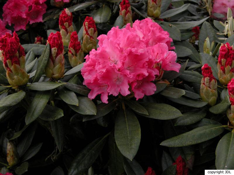 Rhododendron 'Kantilene' (R. 'Mars' × R. yakushimanum 'Koichiro Wada')