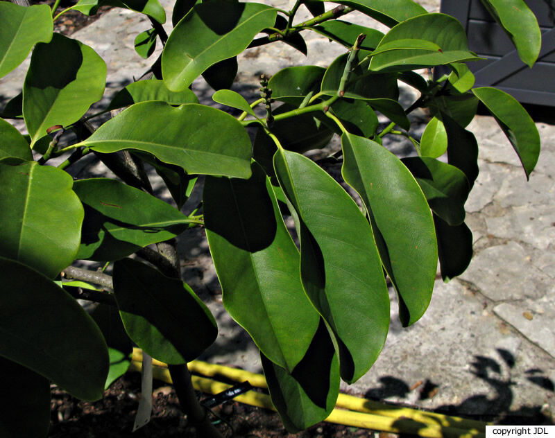 Magnolia maudiae (Dunn) Figlar