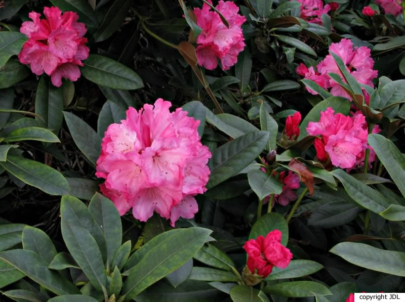 Rhododendron 'Hachmann's Belona' (R. yakushimanum 'Koichiro Wada' × R. 'Britannia')