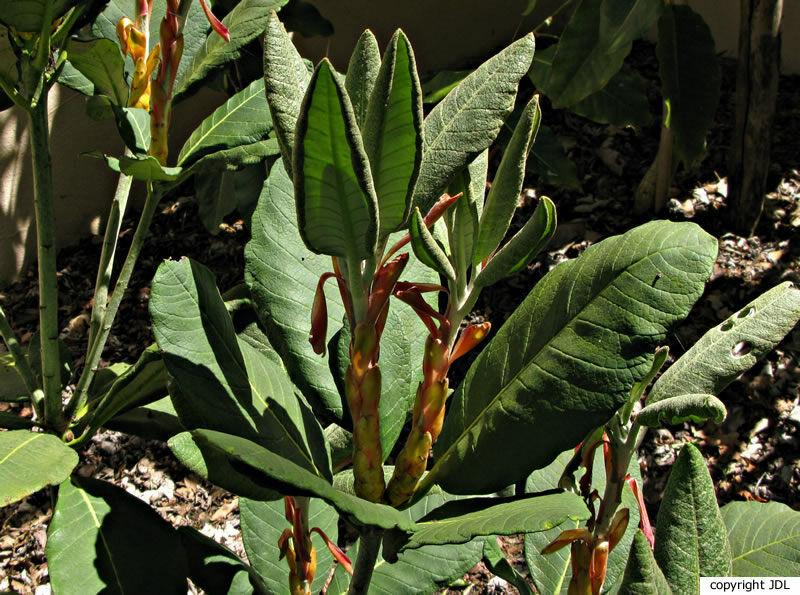 Rhododendron sinofalconeri Balf.f.