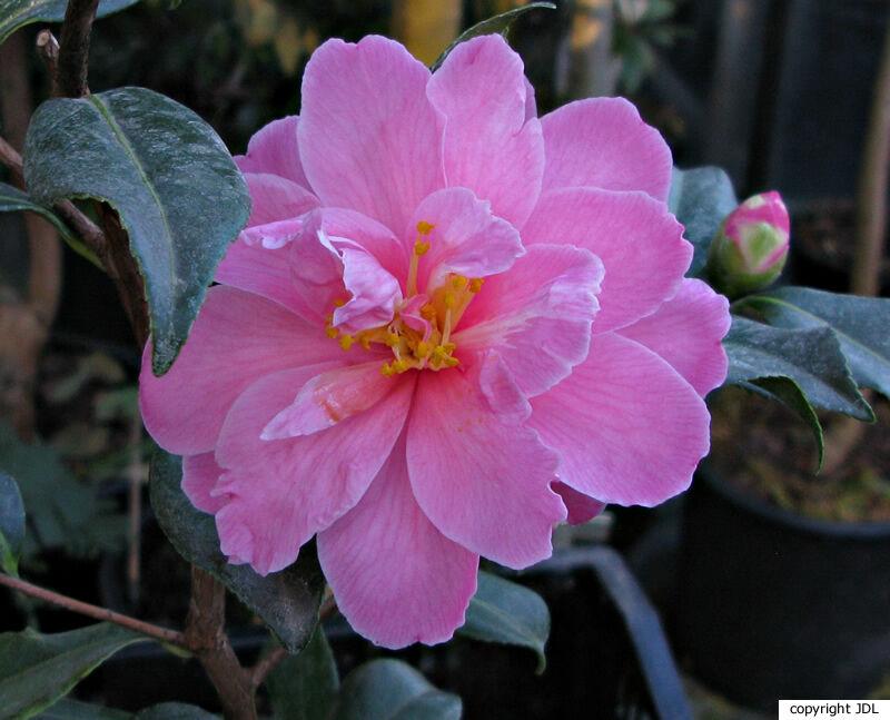 Camellia ×vernalis (Makino) Makino 'Shibori-egao' (C. japonica × C. sasanqua)