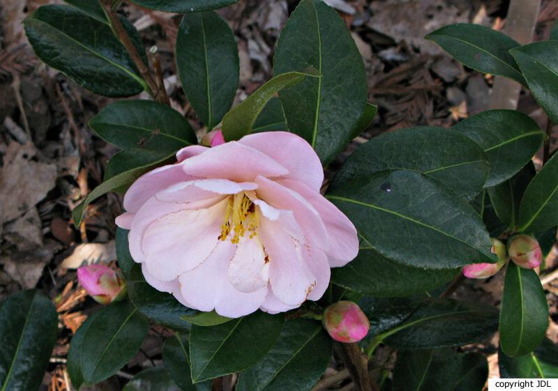 Camellia 'Nicky Crisp' (C. pitardii × C. japonica)