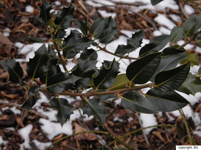 Ilex aquifolium L. 'Fisheri'